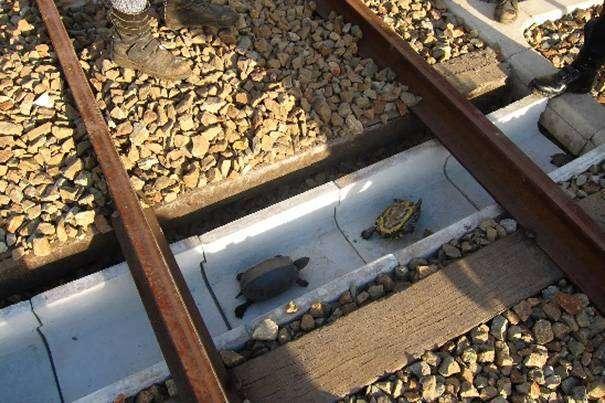 Kura-kura yang melintasi underpass khusus | foto: sumasui.jp